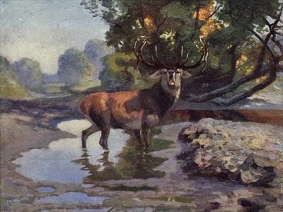 Künstler Ausgewachsener Hirsch Trinkt Am Wasser Im Wald, Bkwi--Giclee Print