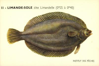 Künstler Fische, Institut Des Peches, Limande Sole Dite Limandelle, Flunder--Giclee Print