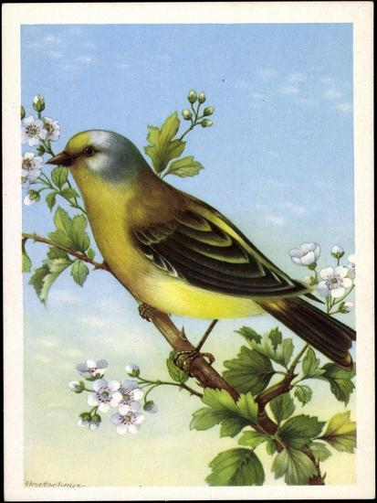 Künstler Zitronenzeisig, Carduelis Citrinella, Vogel--Giclee Print