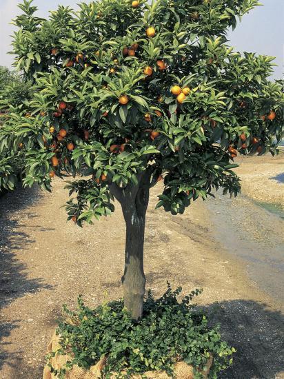 Kumquats Growing On A Round Kumquat Tree Fortunella Japonica