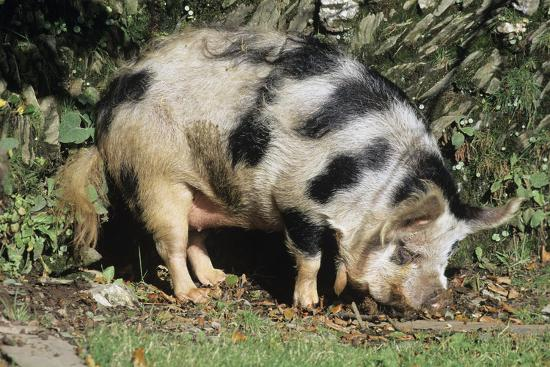 Kune Kune Pig-David Aubrey-Photographic Print