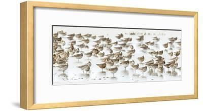 Bar-Tailed Godwit 19