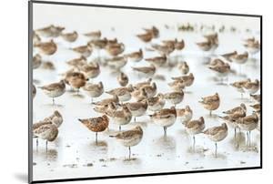 Bar-Tailed Godwit 19 by Kurien Yohannan