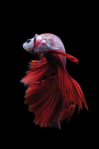 Betta Fish, Indonesia by Kuritafsheen