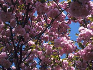 Flowering Cherry Tree, Ct by Kurt Freundlinger