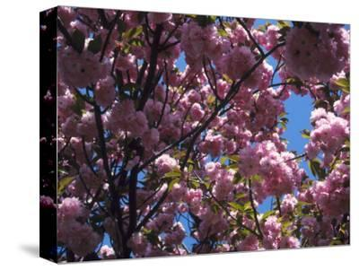Flowering Cherry Tree, Ct