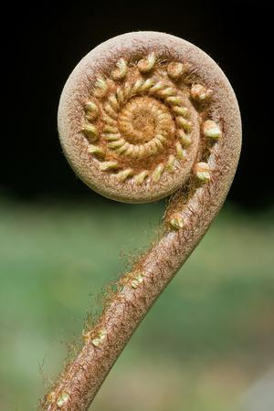 Curled Young Fern