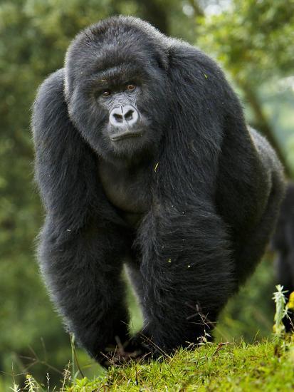 Kwitonda Group of Mountain Gorillas, Volcanoes National Park, Rwanda-Ralph H^ Bendjebar-Photographic Print