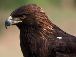 Golden Eagle (Aguila Chryseatoe), CA by Kyle Krause
