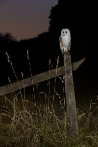 Barn owl perched on an old farm gate, Suffolk, England, United Kingdom, Europe by Kyle Moore