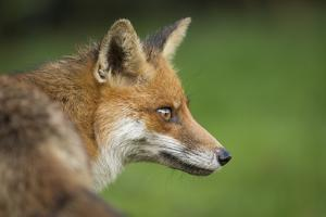 Red fox head portrait, Suffolk, England, United Kingdom, Europe by Kyle Moore