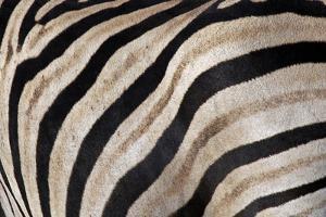 Burchell's Zebra Stripes, Etosha Namibia by Kymri Wilt