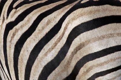 Burchell's Zebra Stripes, Etosha Namibia