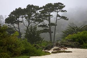 California, Carmel by the Sea. Coastal Trees of Carmel by the Sea by Kymri Wilt