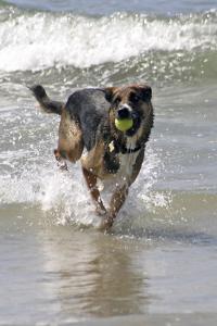 California, Del Mar. Dog Fetching Tennis Ball at Dog Beach del Mar by Kymri Wilt