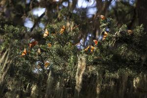 California. Monarch Butterflies at Monarch Grove Butterfly Sanctuary by Kymri Wilt