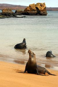 Three Galapagos Sea Lions Play on the Shore of Bartholomew Island. Ecuador, South America by Kymri Wilt