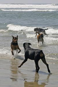 USA, California, Del Mar. Dogs Playing in Ocean at Dog Beach del Mar by Kymri Wilt
