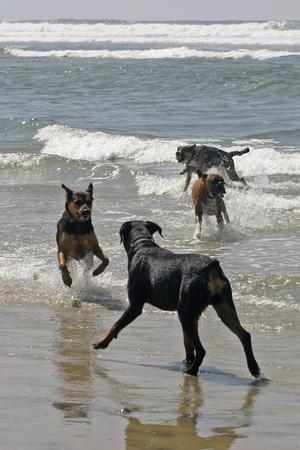 USA, California, Del Mar. Dogs Playing in Ocean at Dog Beach del Mar