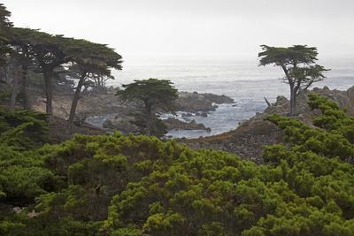 USA, California, Monterey. Monterey Cypress Trees Along 17-Mile Drive