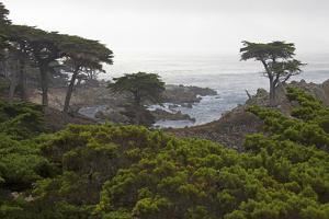 USA, California, Monterey. Monterey Cypress Trees Along 17-Mile Drive by Kymri Wilt