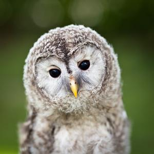 Close Up Of A Baby Tawny Owl (Strix Aluco) by l i g h t p o e t