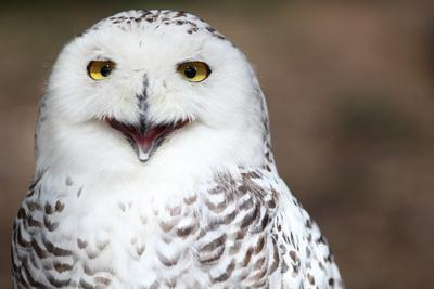 Snowy Owl (Bubo Scandiacus) Smiling And Laughing