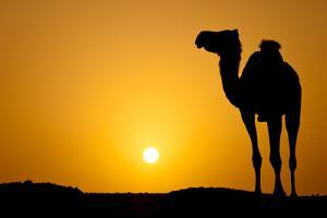 Sun Going Down in a Hot Desert: Silhouette of a Wild Camel at Sunset by l i g h t p o e t