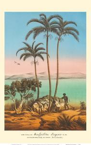 King Palm Tree (Seaforthia Elegans) - Australian Aborigines by L. Stroobart a Gard