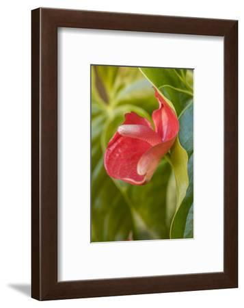 La Garita, Costa Rica. Flamingo flower.-Janet Horton-Framed Photographic Print
