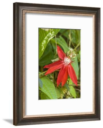 La Garita, Costa Rica. Red passion flower or scarlet passion flower (Passiflora coccinea).-Janet Horton-Framed Photographic Print