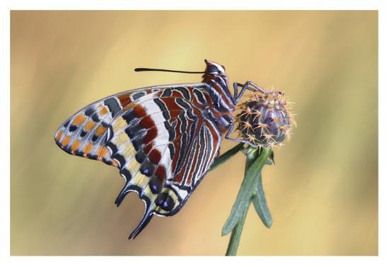 La Mariposa Del Madroa-Jimmy Hoffman-Giclee Print