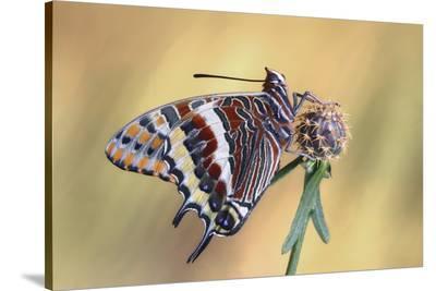 La Mariposa Del Madroa-Jimmy Hoffman-Stretched Canvas Print