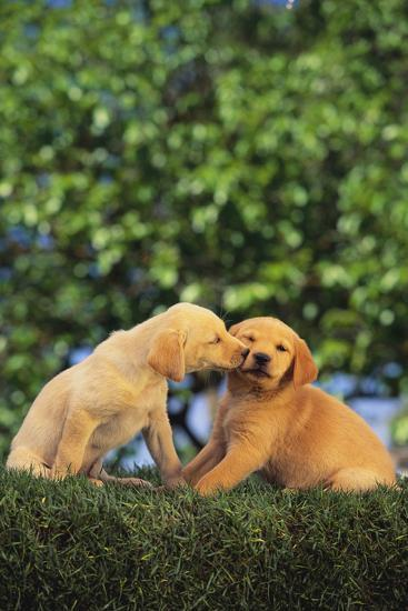 Lab and Golden Retriever Puppies-DLILLC-Photographic Print