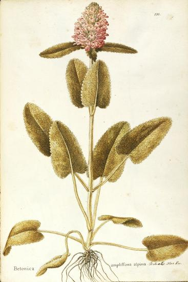 Labiatae or Lamiaceae--Giclee Print