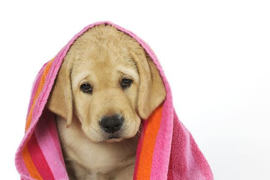 Labrador (8 Week Old Pup) with Towel--Photographic Print