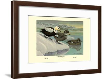 Labrador Duck-Louis Agassiz Fuertes-Framed Art Print