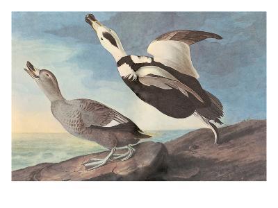 Labrador Duck-John James Audubon-Art Print
