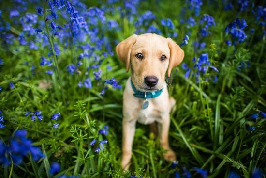 Labrador in Bluebells, Oxfordshire, England, United Kingdom, Europe-John Alexander-Photographic Print