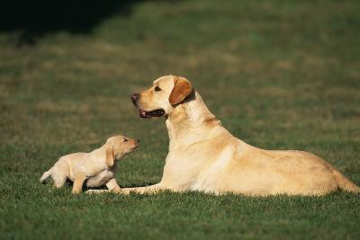 Labrador Mother and Puppy-DLILLC-Photographic Print