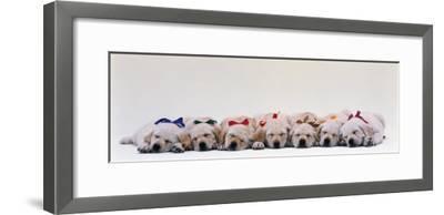 Labrador Puppies Wearing Bows, Sleeping