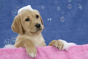 Labrador Retriever 9 Wk Old Puppies With