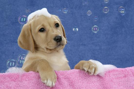 Labrador Retriever 9 Wk Old Puppies With--Photographic Print