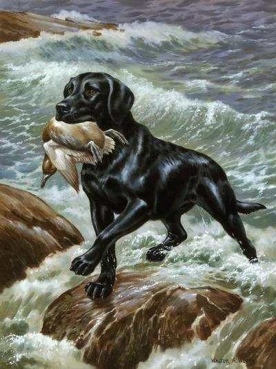 Labrador Retriever Climbs from Surf with Dead Duck in its Jaws-Walter Weber-Photographic Print