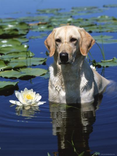Labrador Retriever Dog in Lake, Illinois, USA-Lynn M^ Stone-Photographic Print
