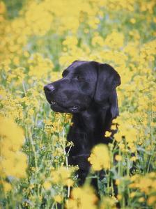 Labrador Retriever in Field of Yellow Flowers