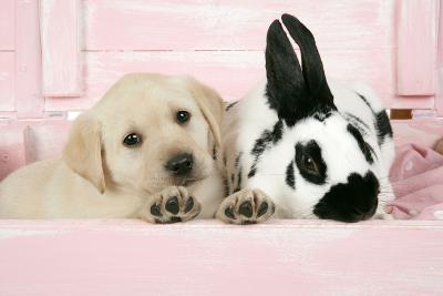 Labrador Retriever Puppy and English Rabbit--Photographic Print