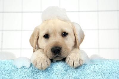 Labrador Retriever Puppy with in Bath with Soap Bubbles--Photographic Print