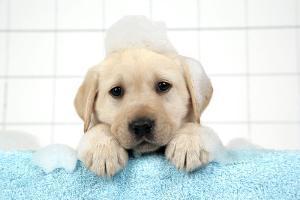 Labrador Retriever Puppy with in Bath with Soap Bubbles