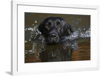 Labrador Retriever--Framed Photographic Print